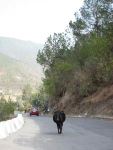 のんびり歩く牛(放牧中)